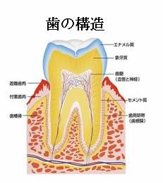 歯の構造2