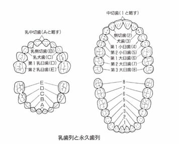乳歯列と永久歯列